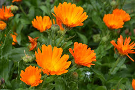 Calendulas is a plant used in herbal remedies that is found in your garden or in the wild.