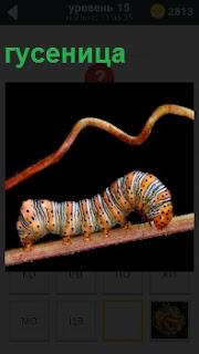Разноцветная гусеница ползет по ветке дерева, еле передвигая свои ноги