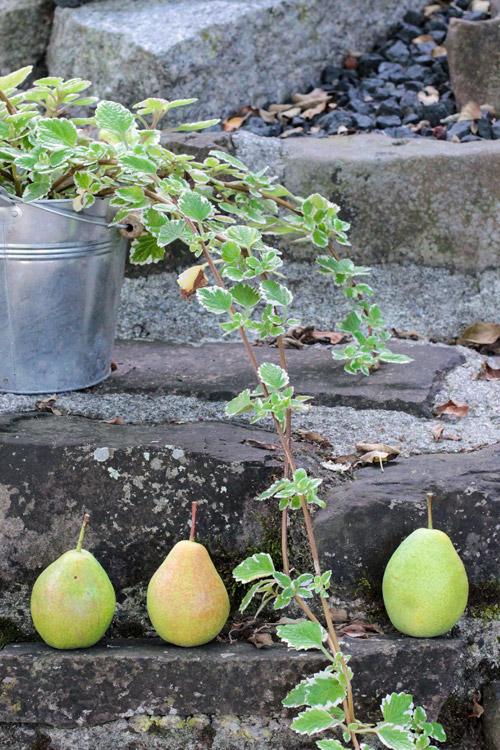 pears on a wall, Birnen auf einer Mauer