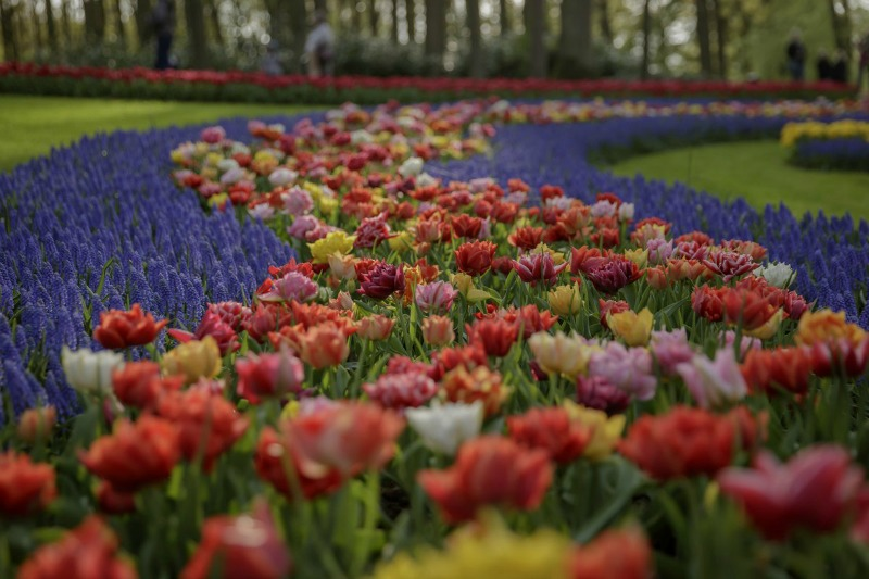 tulipanes y muscari