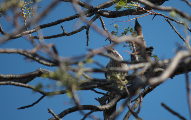 Success! She approved his singing and wattlebirds are off to make a new family