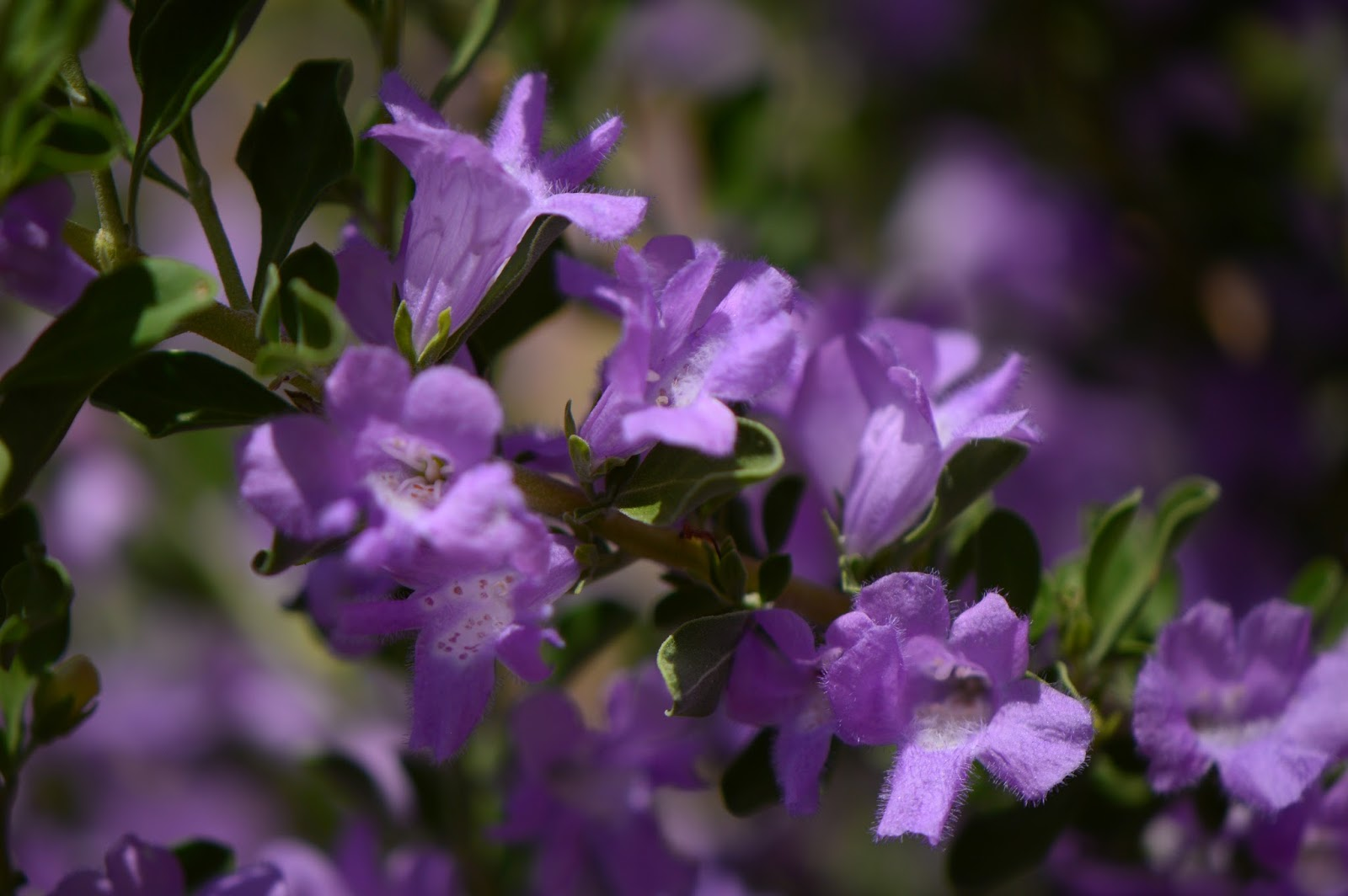 Compact Texas Sage - July 2015 Plant of the Month
