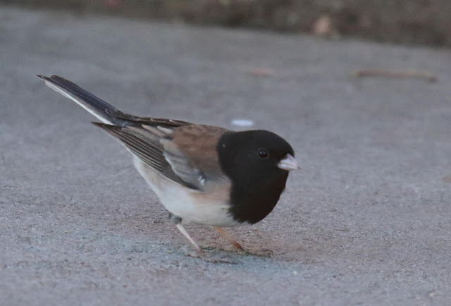 Dark-eyed Junco, Oregon form thurberi