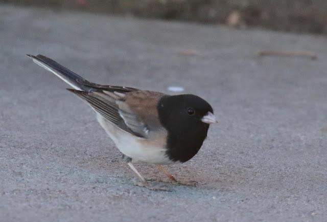 Dark-eyed Junco, Oregon form thurberi