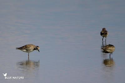 Chorlito gris (Pluvialis squatarola) en una de las mejores zonas costeras del Delta, El Goleró. Blue Nature