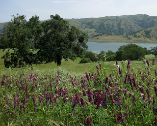 Purple wildflowers (winter vetch), oak trees, Calaveras Reservoir and hills