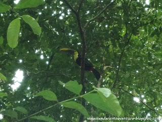 Tucán en el Parque Nacional Corcovado