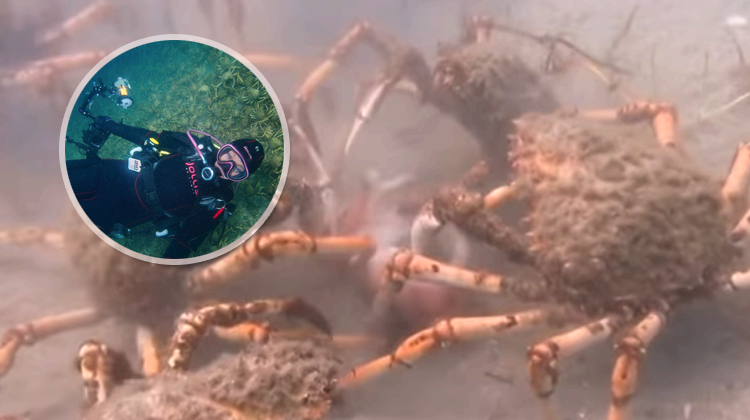 Migrating Spider Crabs Rip Apart an Octopus