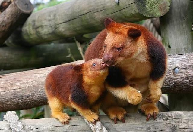 Loài chuột túi ôm cây đáng yêu dã man