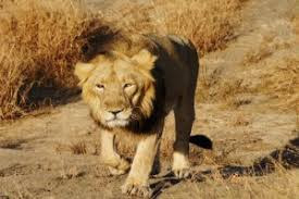 Genome Sequencing of Asiatic Lion done by CSIR scientists