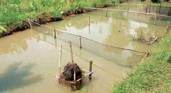 Kolam Pemijahan Gurame - Budidaya Ikan