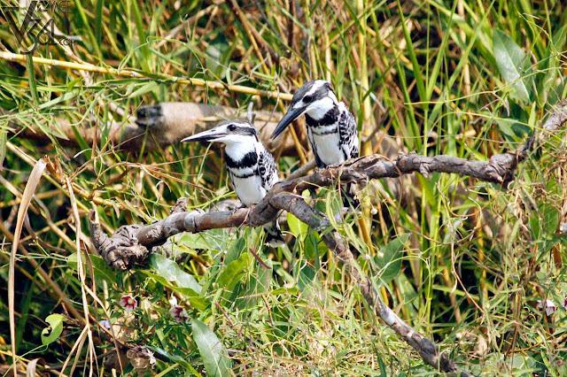Pied kingfisher(25 cm) - Ranganathittu