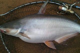 8 Umpan Ikan Patin Liar Kolam Air Hijau Keruh Harian Mancing Ikan Monster