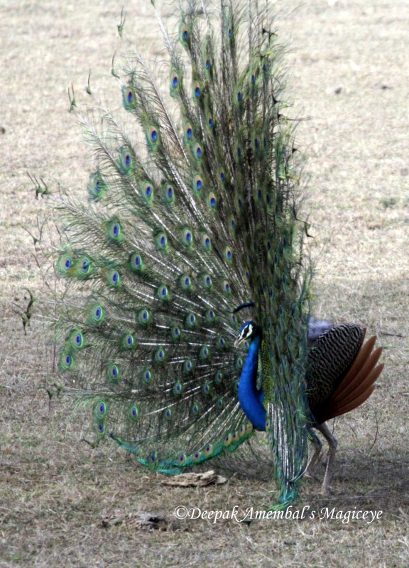 Peacock Stand Up Tanning Bed