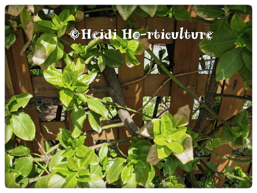 Heidi Horticulture Training Euonymus As A Climber
