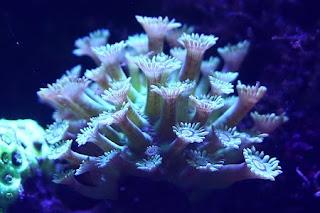 Goniopora sp.