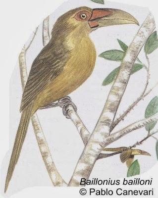 Tucán amarillo Pteroglossus bailloni