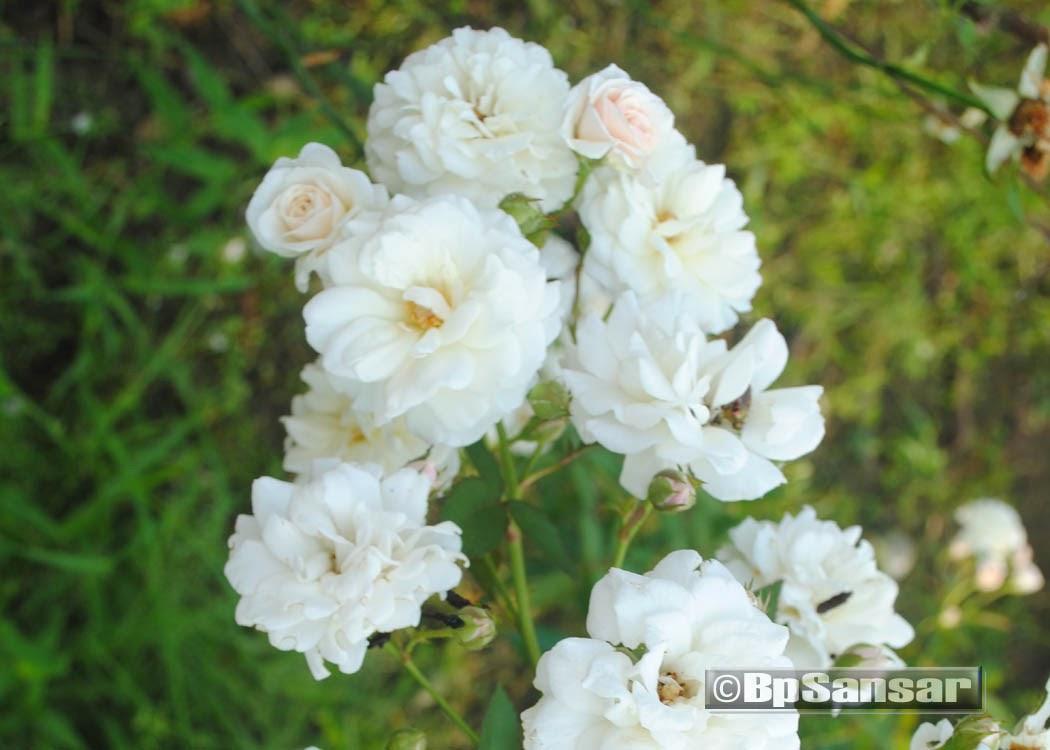 White Rose flower in garden   best wallpaper - All ... White Rose Flower Garden Wallpaper