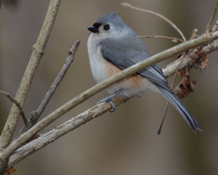 A sweet Tufted Titmouse (Baeolophus bicolor) peeps his happy song on a cold day