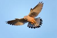 Havada uçarken yeri izleyen bir kerkenez kuşu