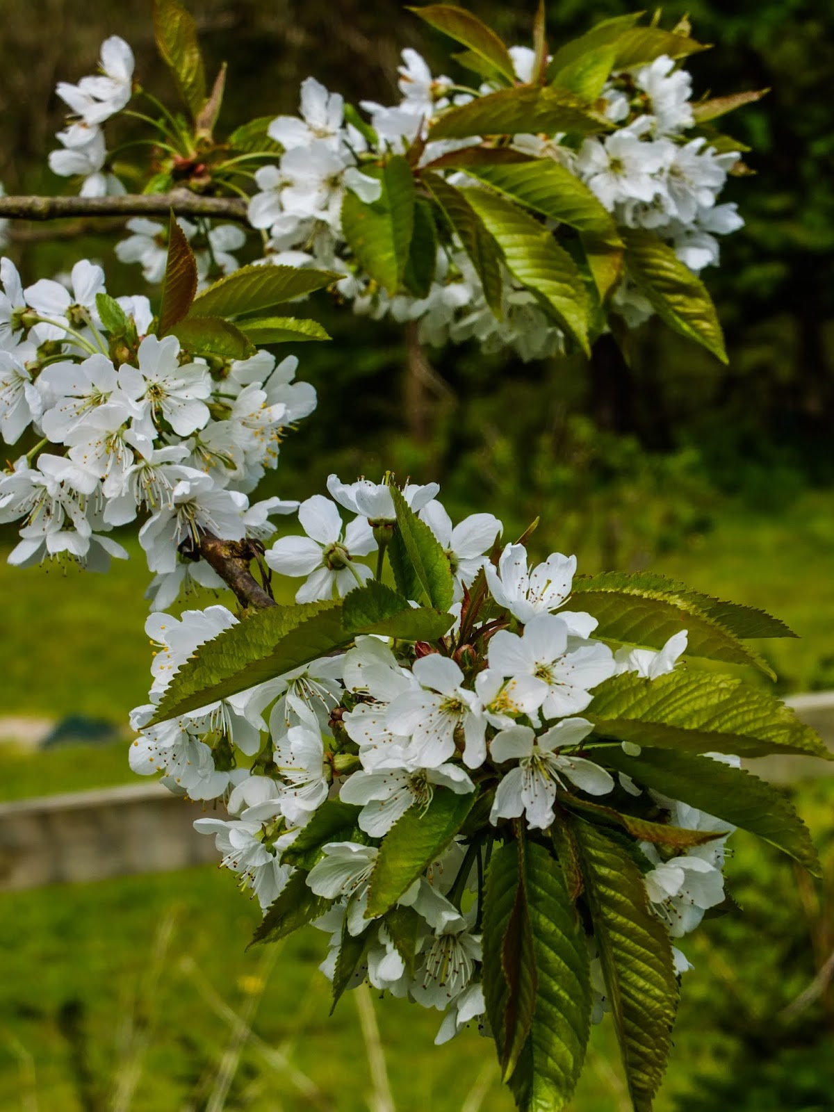 Cherry tree flowers on the tips of branches.