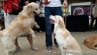 Casper and Mhershey - English Cream Golden Retrievers