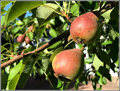 July 18, 2018 Amazed how many pears our trees has this year