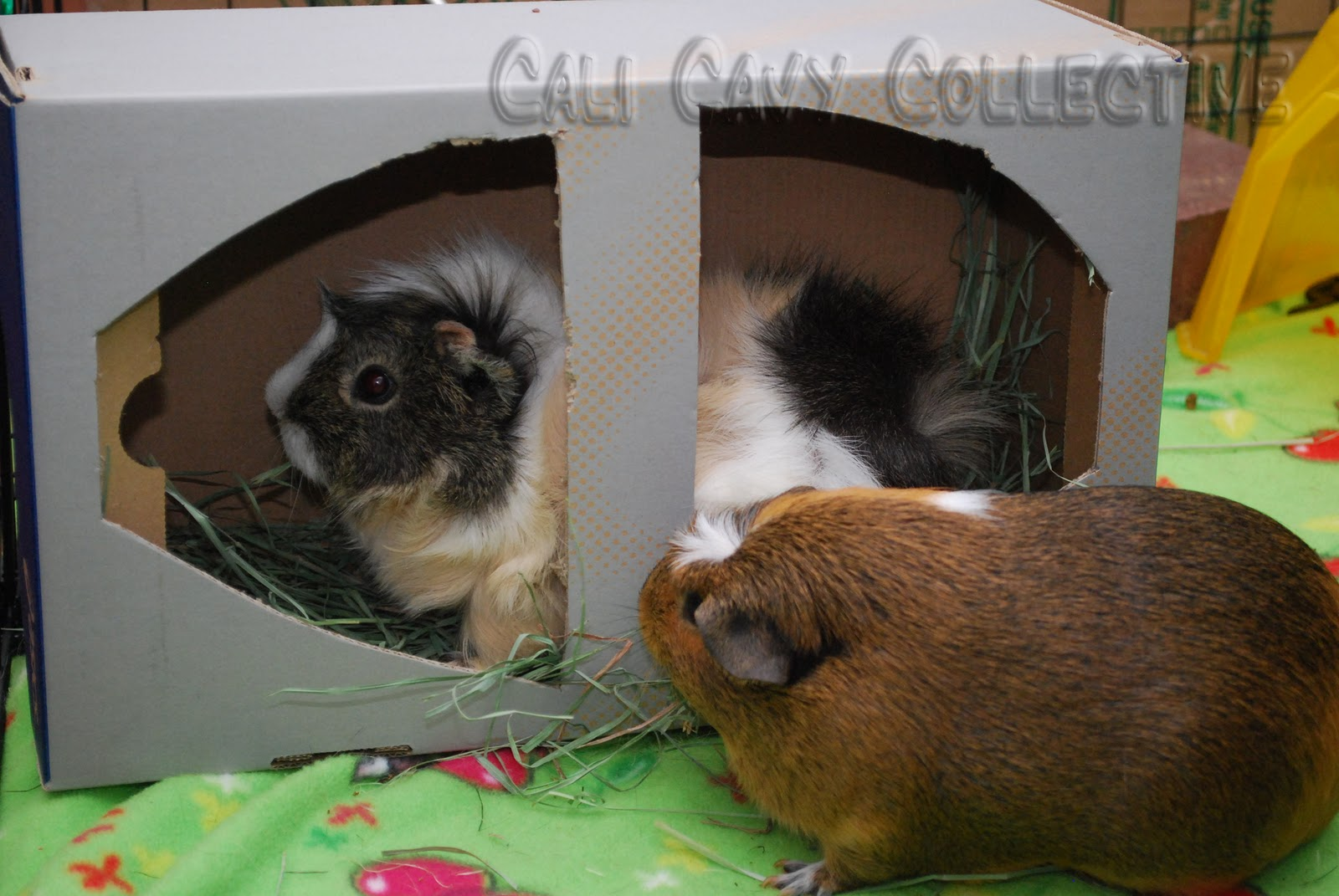 Cali Cavy Collective A Blog About All Things Guinea Pig