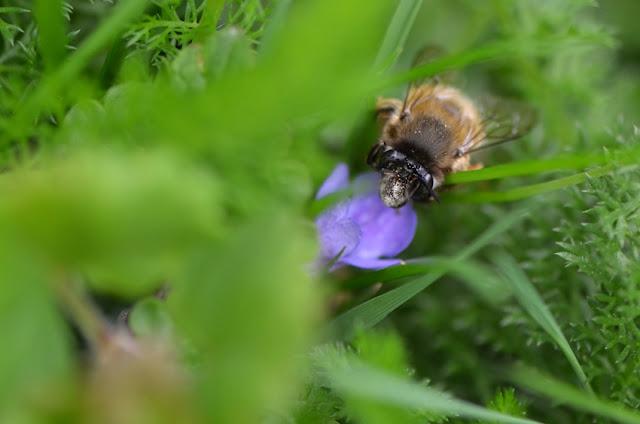Anthophora plumipes femelle (abeille sauvage) sur fleur de Gléchome lierre terrestre (Glechoma hederacea)