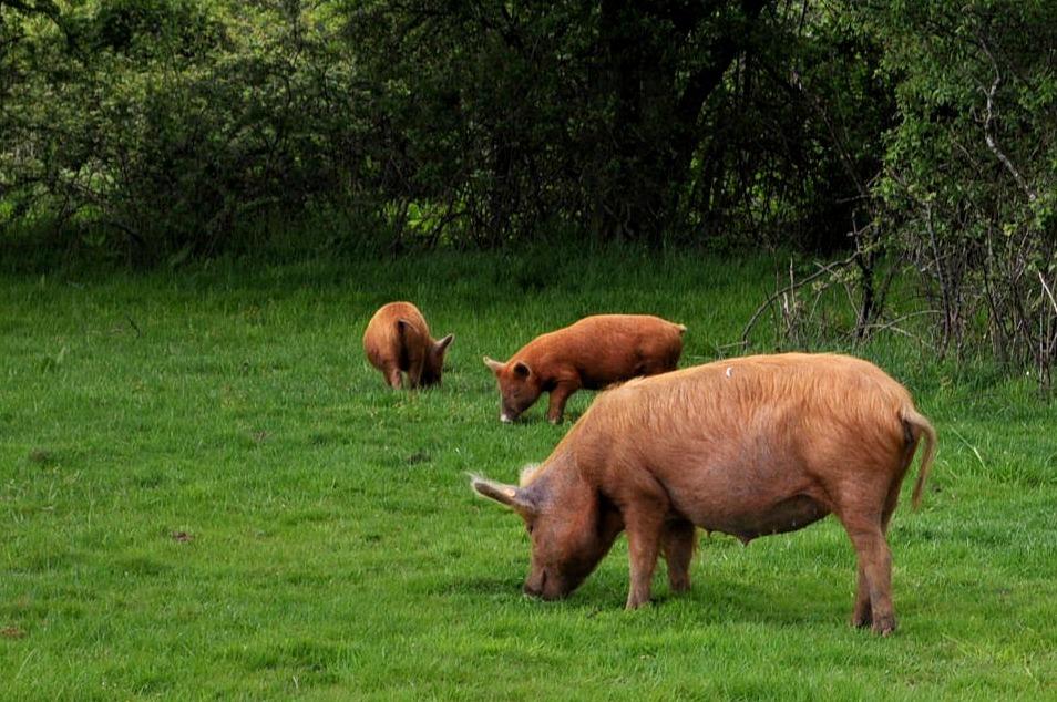 glamping, camping, canopy & stars, knepp wildland safari, tamworth pigs
