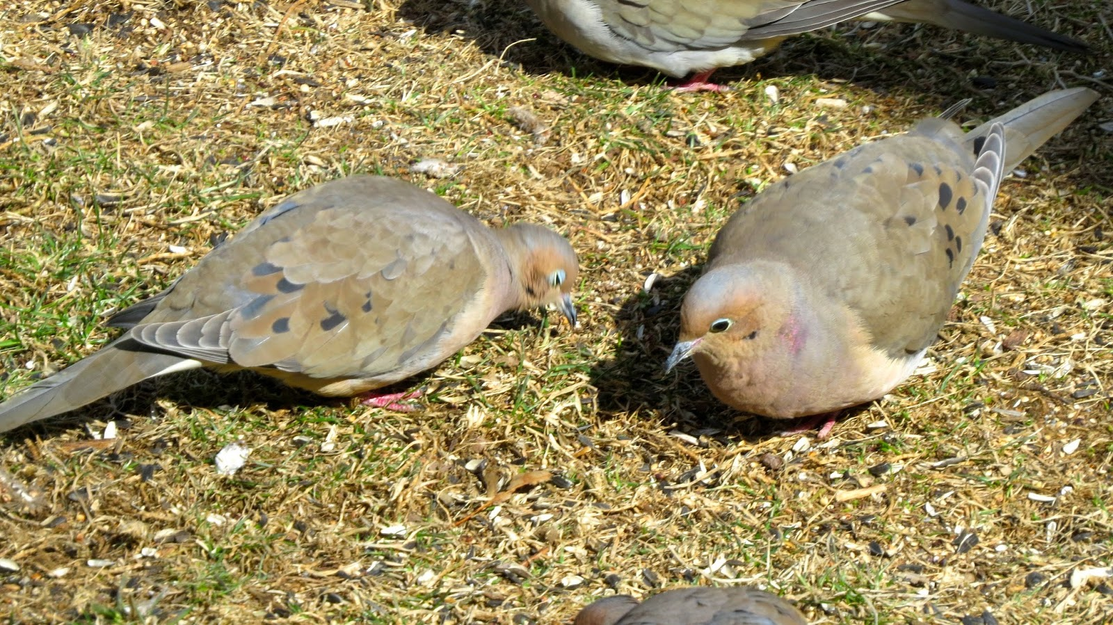 Mourning-Doves-in-Farmingdale,NY
