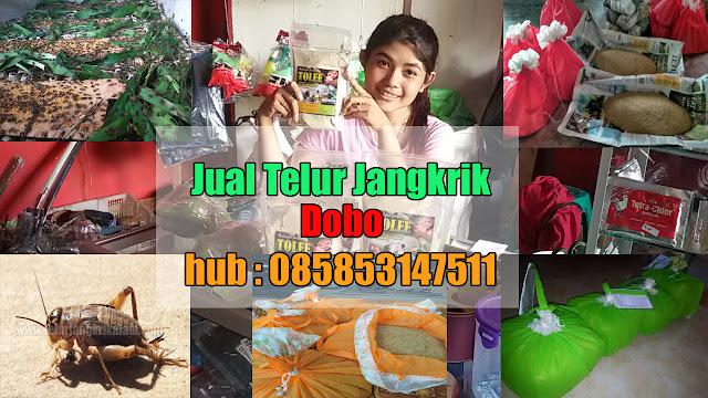 Jual Telur Jangkrik Dobo Hubungi 085853147511