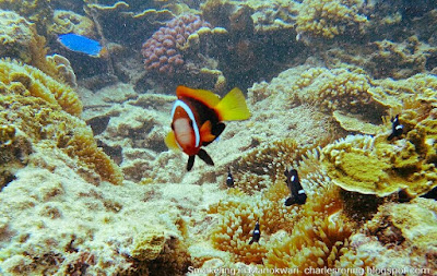 Red and Black Anemonefish, Yellow-tailed Blue Damsel and Three-spots Dascyllus
