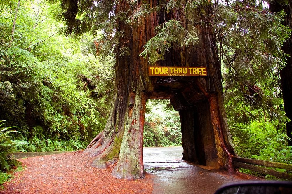 Shelter from the Storm: Drive-Through Trees