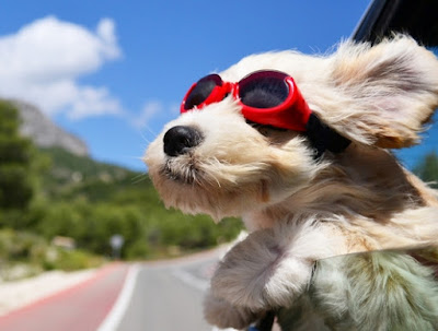 funny pooch dog car meme on vacation with family head outside of car in wind