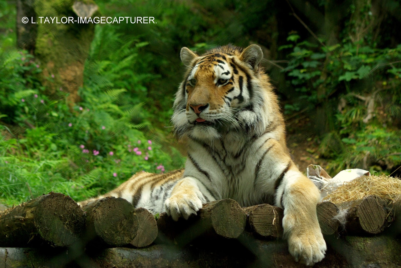 Where Do Siberian Tigers Live? – Siberian Tiger Habitat