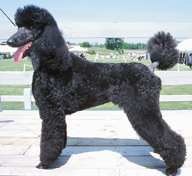 black standard poodle puppy - photo #46