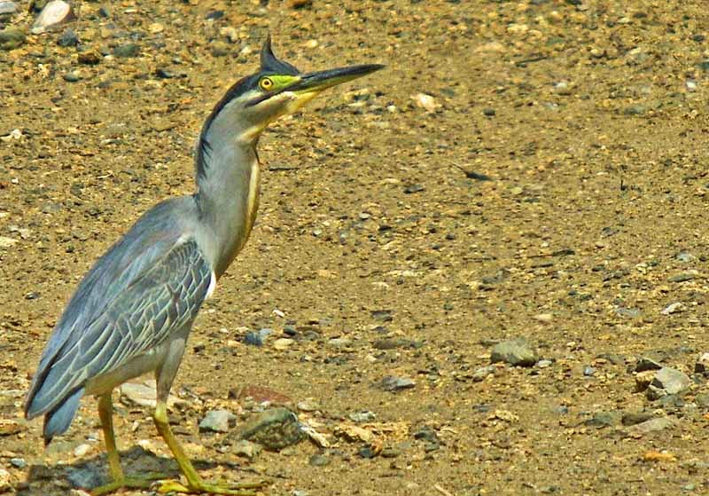 funny bird photo,posing,awkard,Striated Heron