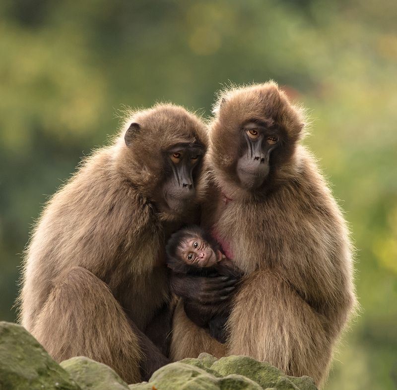 Baby Animals: Baboon infant 6