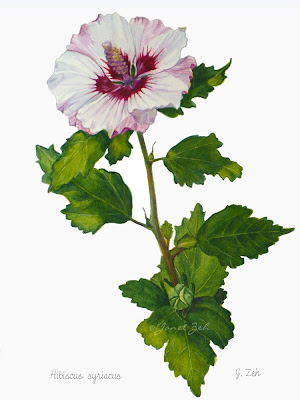 Rose of Sharon fine art print