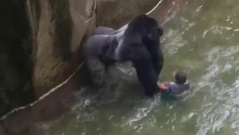 If we're faced with same situation we'd shoot the gorilla again- Zoo Director says