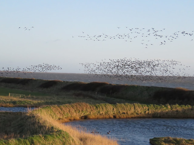 Flocks of birds in flights over the Wexford Wildfowl Reserve and the Irish Sea