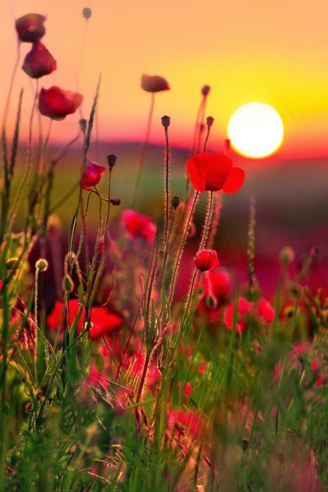 What Colors Can Poppies Be In Nature