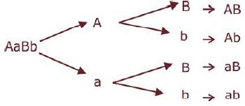 Contoh persilangan monohibrid dan dihibrid demikian pembahasan lengkap tentang percobaan mendel secara lengkap yaitu pada persilanan monohibrid dan persilangan dihibrid dan cara penghitungan mencari ccuart Choice Image