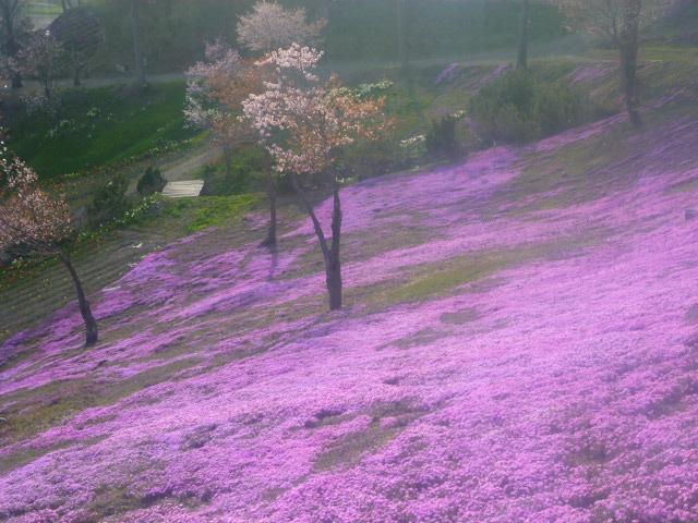 Shibazakura Moss Pink Flowers Takinoue Park 滝上公園 As Of 2017 05 18