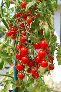 jual-benih-tomat-cherry.jpg
