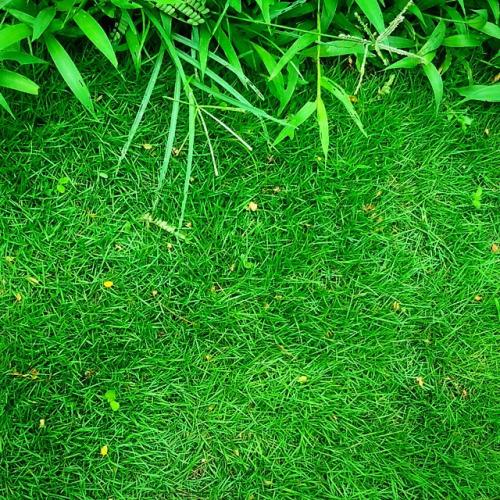 rumput taman hias