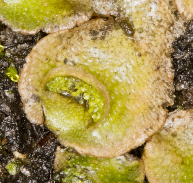 Lunularia cruciata, Crescent-cup Liverwort.  Gemmae in crescents.   Husseywell Park, Hayes, 8 April 2016.