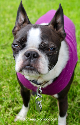 Sinead the Boston terrier before her dental