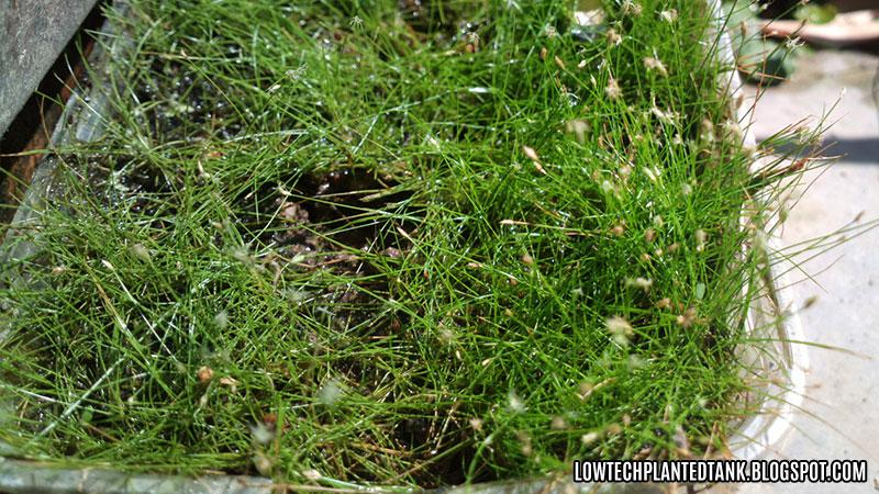 emersed hairgrass